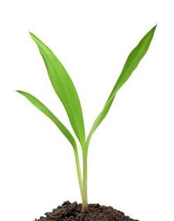 Tohumlar hangi yöne büyüyeceklerini nasıl bilirler?