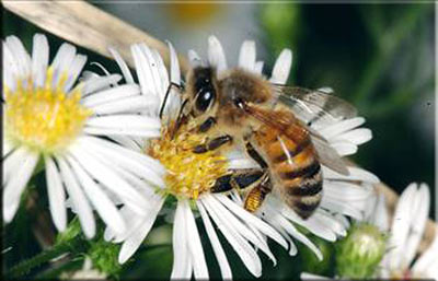 Arı sokması nelere şifa oluyor?