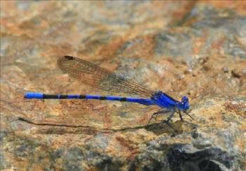 Mavi Renkli Canlılar