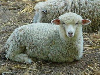 Mati karena domba lapar