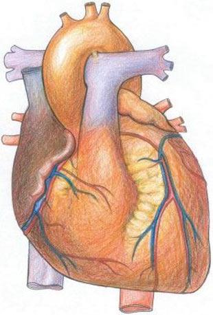 Organlar ne zaman yaşlanıyor? Organlar7