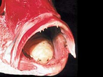 Dil paraziti (Cymothoa Exigua)