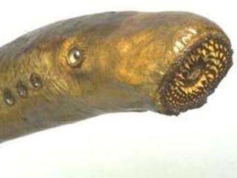 Çamur paraziti (Leocochloridium Paradoxum)