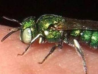 Zümrüt sineği paraziti