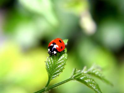 Uğur böcekleri hakkında ilginç bilgiler