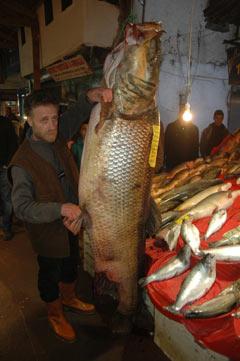 Keban Barajı'ndan dev turna balığı çıktı