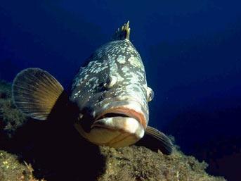 18 yaşında cinsiyet değiştiren balık Orfoz