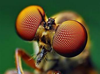 Dünyanın en güzel sineği Sinek-guzel