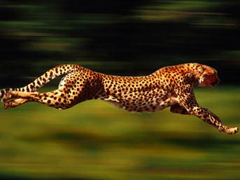 Çita dünyanın en hızlı koşan memelisidir aslanlar gibi sürü