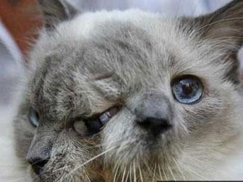İki yüzlü kedi rekor kırdı