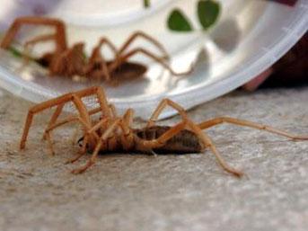 Et yiyen örümcek halkın korkulu rüyası oldu