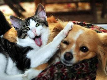 Şivava, yavru kedilere annelik yapıyor