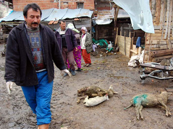 Simav'da vahşi köpekler, ağıla saldırdı